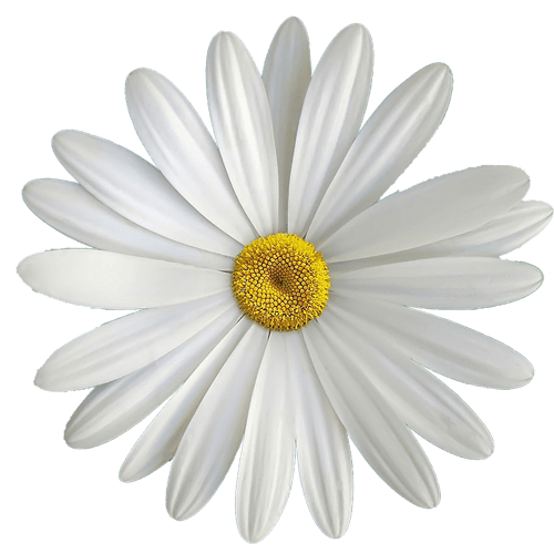 spring wedding flowers - Daisy