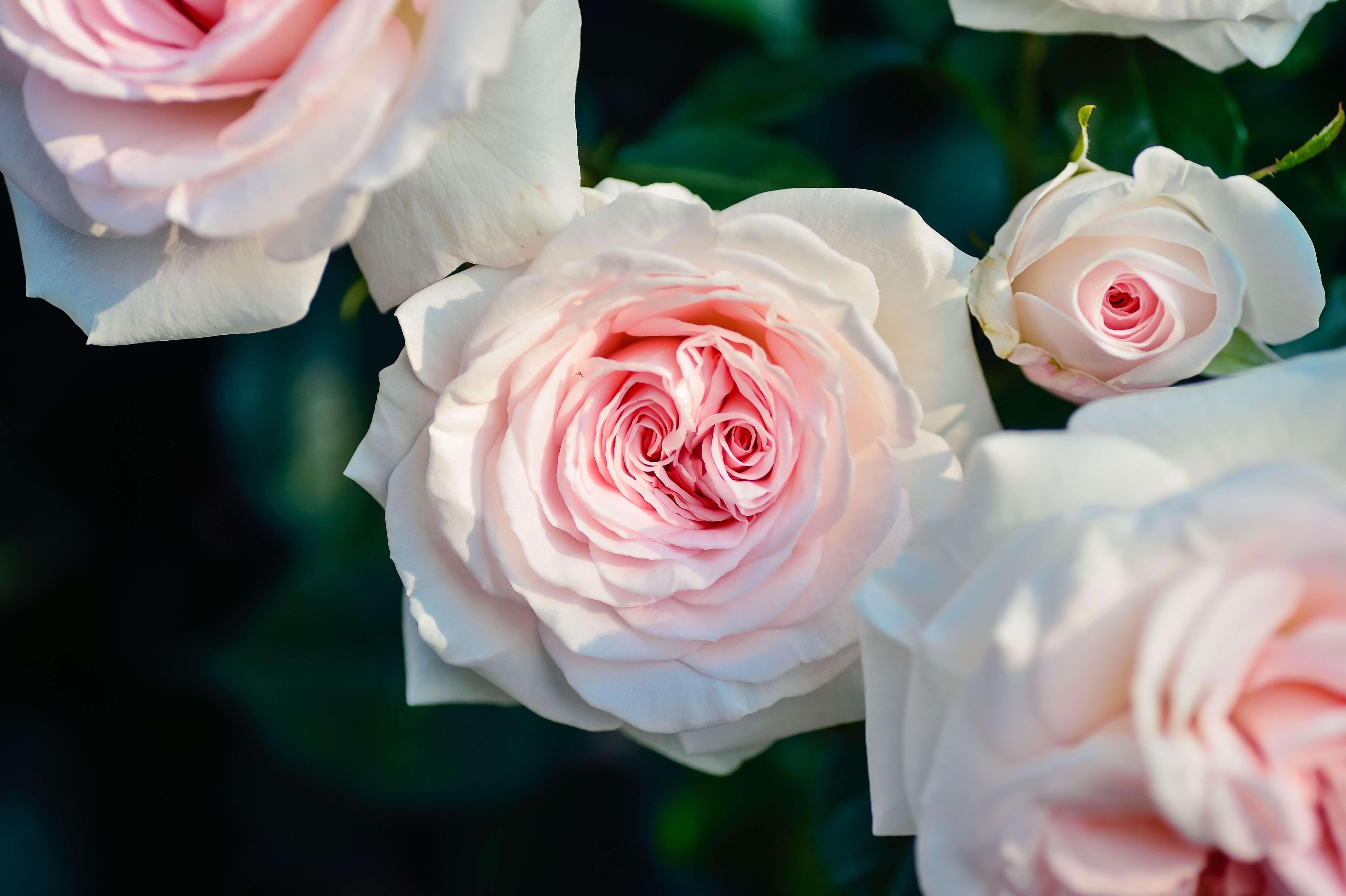 Rose favourite flower